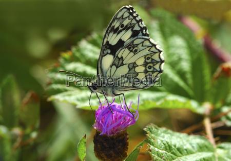 checkerboard butterfly melanargia galathea