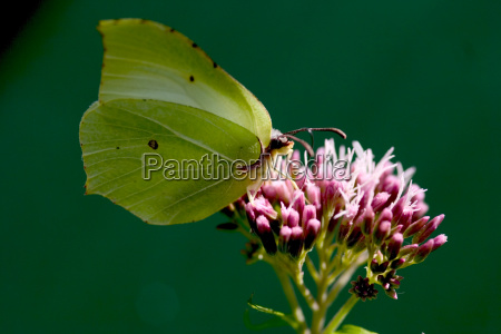 lemon butterfly genepteryx rhamni