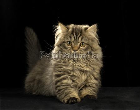 persian cat mixed breed