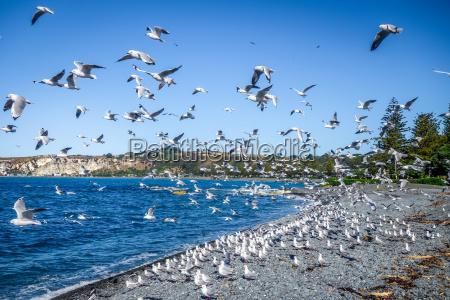 seagulls on kaikoura beach new zealand