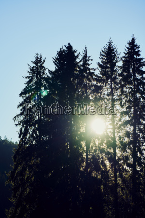 backlit sun fir forest