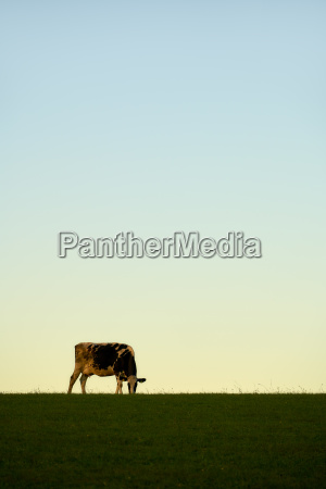 cow sky meadow