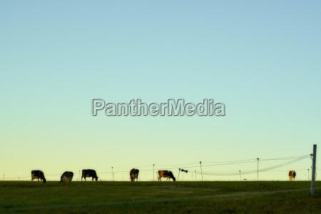 cows fence sky