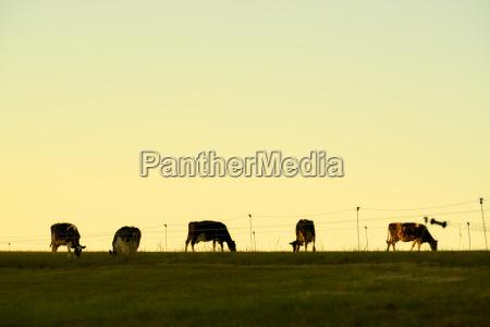 cows sky fence