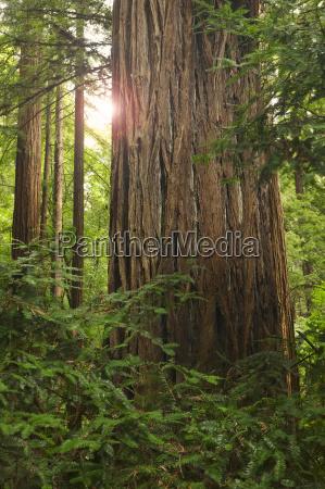 redwoods in muir woods national park
