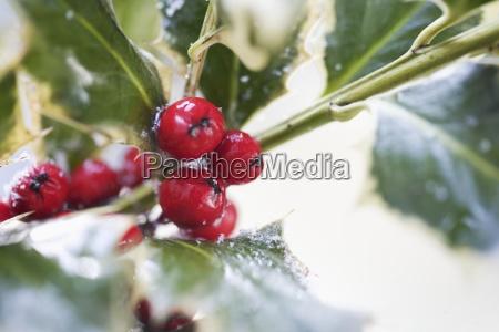 closeup of holly berries