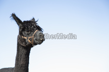 portrait of alpaca vicugna pacos against