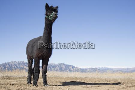 portrait of black alpaca vicugna pacos