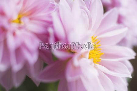 studio shot of pink dahlias in