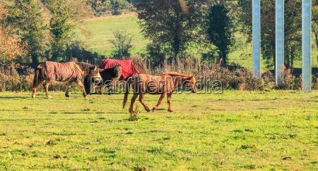 ponies roam in a grass in