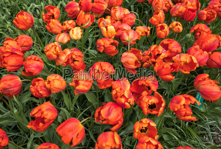 orange tulips flowers blooming in a