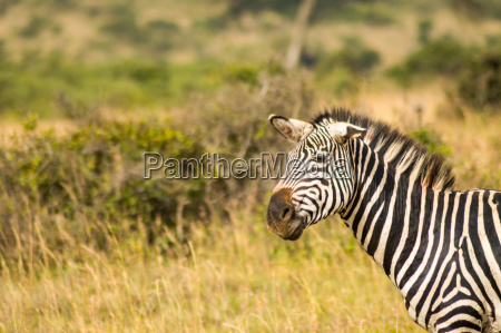 zebra with ears down and a