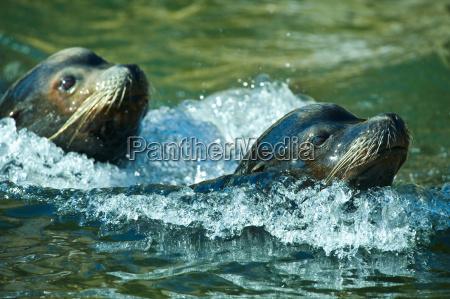 sea lions swimming
