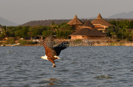 african fish eagle catches fish