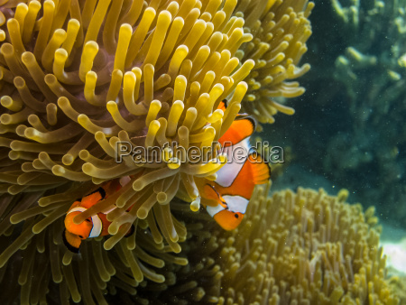 two small anemone fish