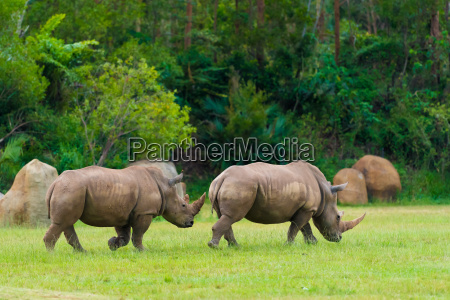 southern white rhinoceros endangered african native