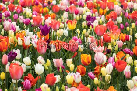 colorful flowers in the keukenhof garden