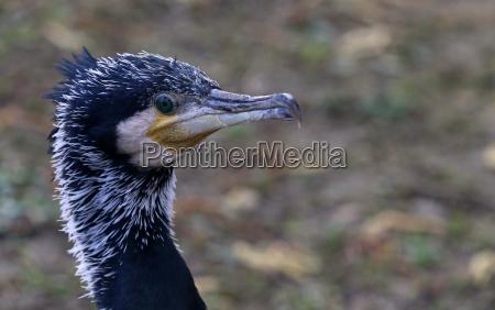 head study cormorant phalacrocorax carbo