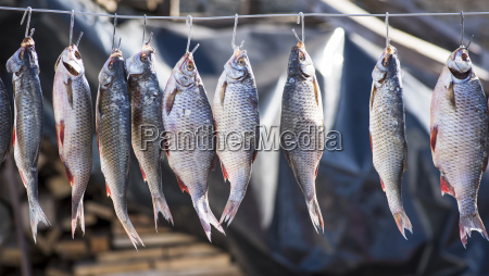 river fish in the scales hanging