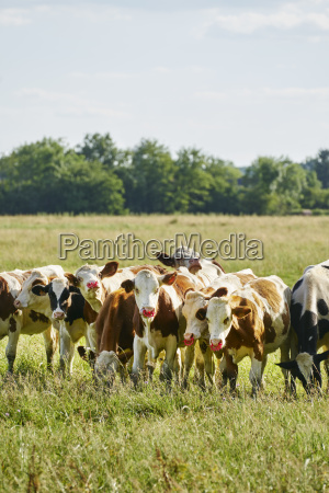 animal channel cow herd fresh water