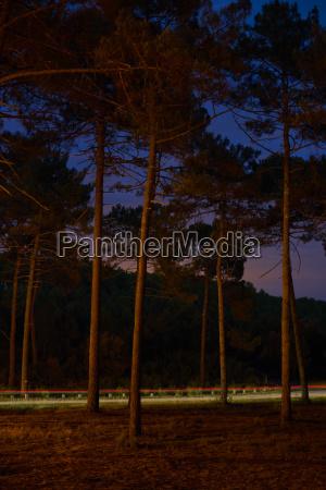 forest pine night