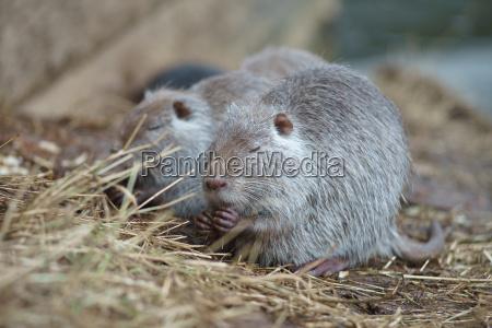 the muskrat ondatra zibethicus in the