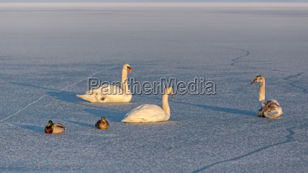 mute swans and wild ducks on