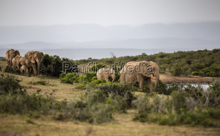 south africa eastern cape addo elephant