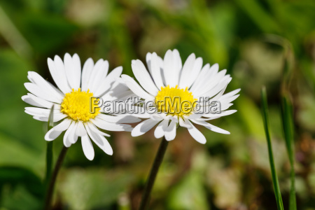 small spring daisy flower