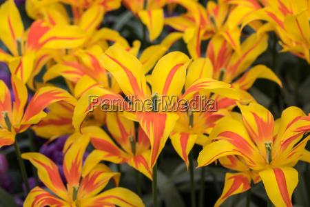 yellow and orange tulips flowers blooming