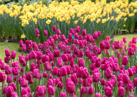 purple l tulips and yellow daffodils