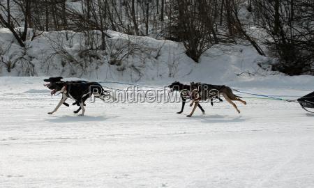 dog huskies husky polar dogs running