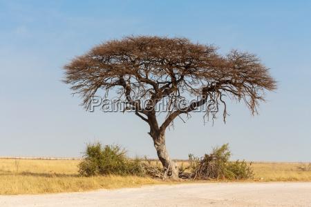 acacia tree in the plain of