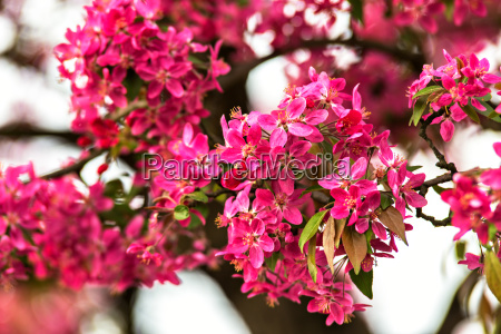 blossom tree over nature background red