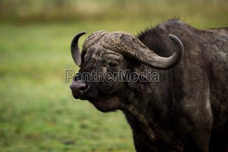 close up of cape buffalo standing