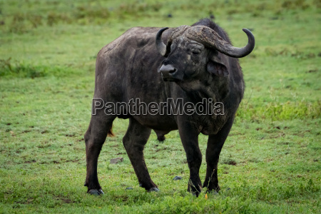 cape buffalo stands in grassland turning