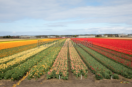 tulip fields of the bollenstreek south