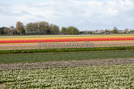 tulip and hyacinth fields of