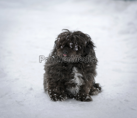 black shaggy dog sits on the