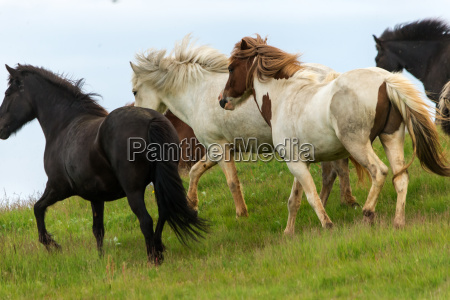 a herd of icelandic horses in