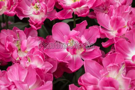 species botanical tulips blooming in
