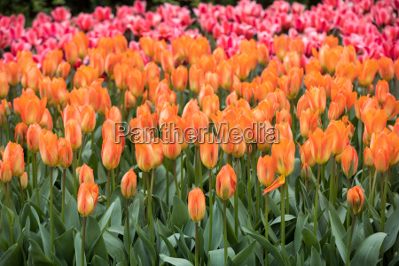 orange and red tulips flowers blooming