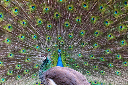 balzender peacock hahn with extended and