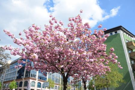 blooming tree in frankfurt