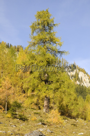 larch in the wimmer valley
