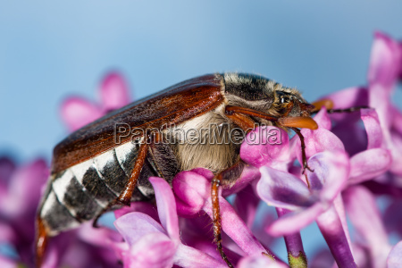 cockchafer crawling on purple flowers