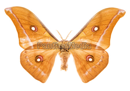 antheraea godmani moth isolated on white