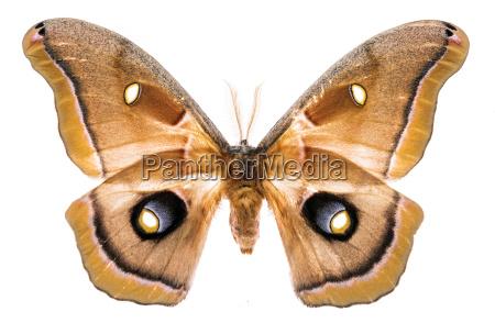 antheraea polyphemus moth isolated on white
