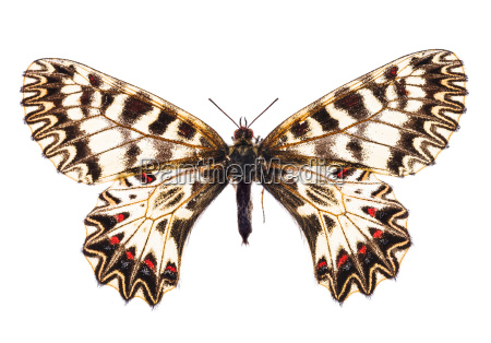 southern festoon isolated on white