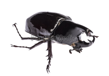 rhinoceros beetle xylotrupes gideon sumatrensis isolated